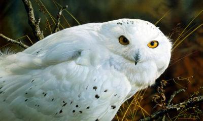 Amber Gaze Snowy Owl Carl Brenders