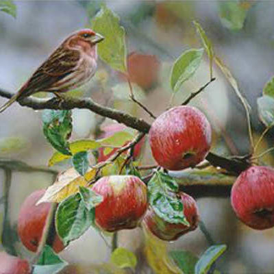 Apple Time Purple Finch Terry Isaac