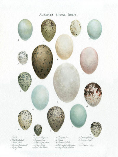 Arctic Birds Egg Collection - Charity Dakin