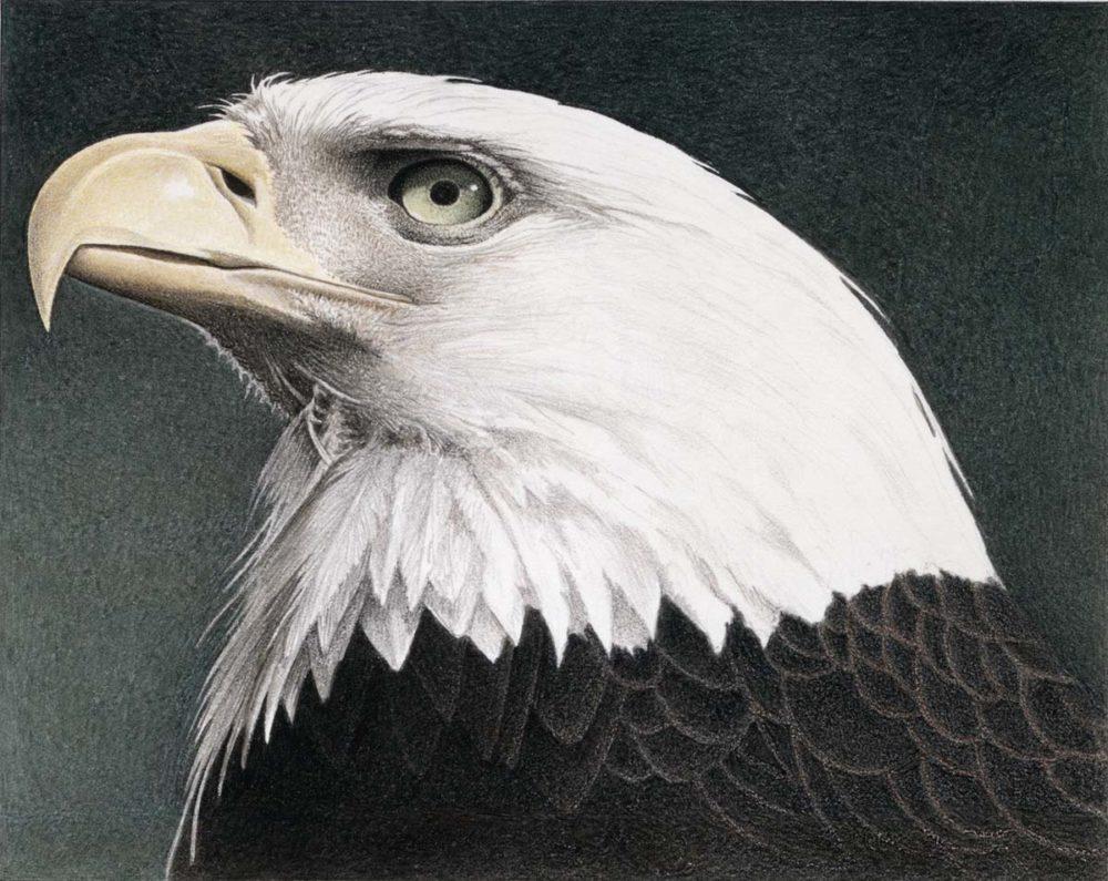 Bald Eagle - Barbara Banthien