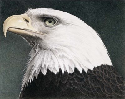 Bald Eagle - Barbara Banthien