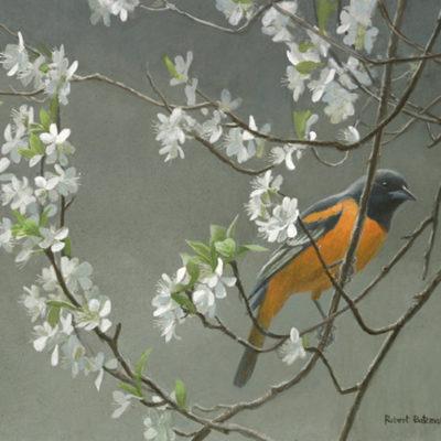Baltimore Oriole & Plum Blossm - Robert Bateman