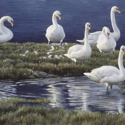 Bank of Swans - Robert Bateman