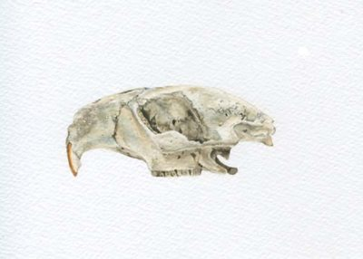 Beaver Skull - Partial - Charity Dakin