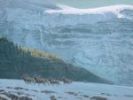 Bighorn Sheep Herd - Robert Bateman