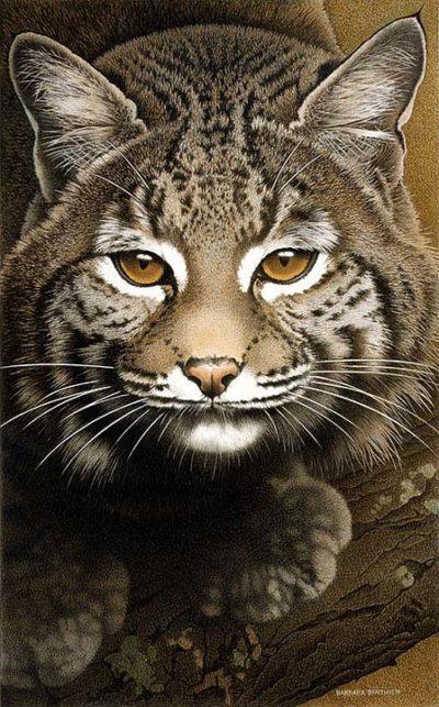Bobcat - Barbara Banthien