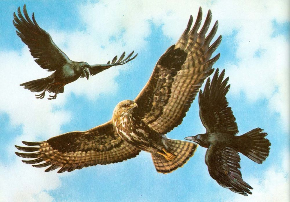 Buzzard Attacked by Rooks - Carl Brenders