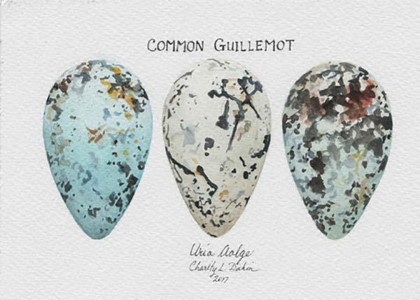 Common Guillemot Egg Collection - Charity Dakin