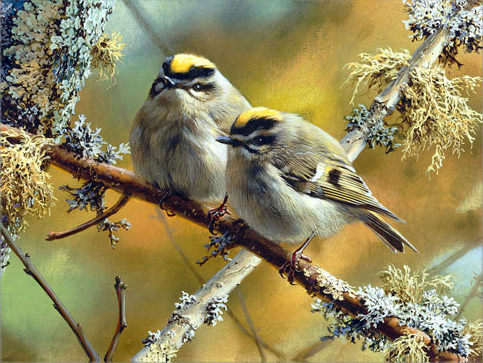 Crowning Glory Golden Crowned Kinglets Carl Brenders