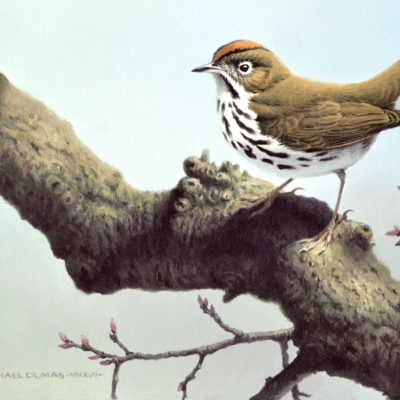 Early Spring Ovenbird Michael Dumas
