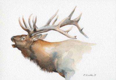 Elk Head Study - Charity Dakin