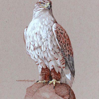 Ferruginous Hawk - Carel Brest van Kempen