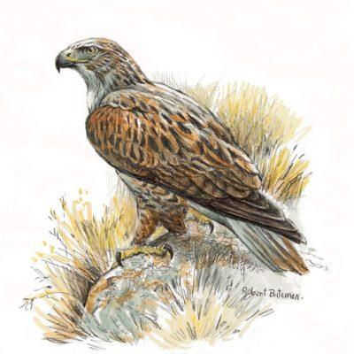 Ferruginous Hawk - Robert Bateman