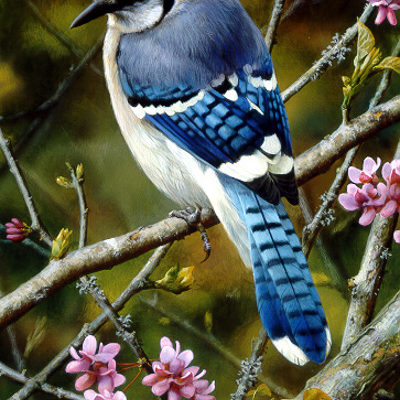 Flash Of Sapphire Blue Jay Carl Brenders