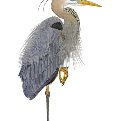 Great Blue Heron - Flick Ford