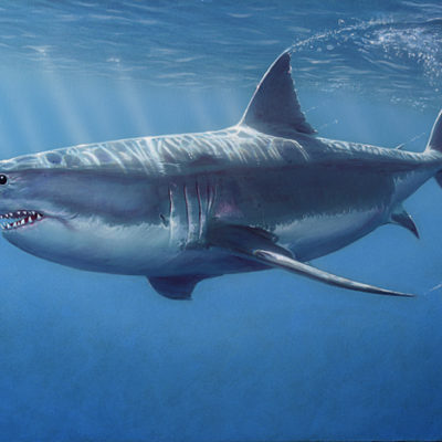 Great White Shark - David Grant