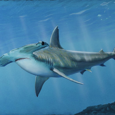 Hammerhead Shark - David Grant