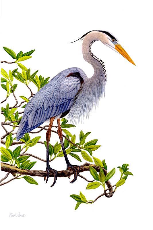 Heron in Mangrove - Flick Ford