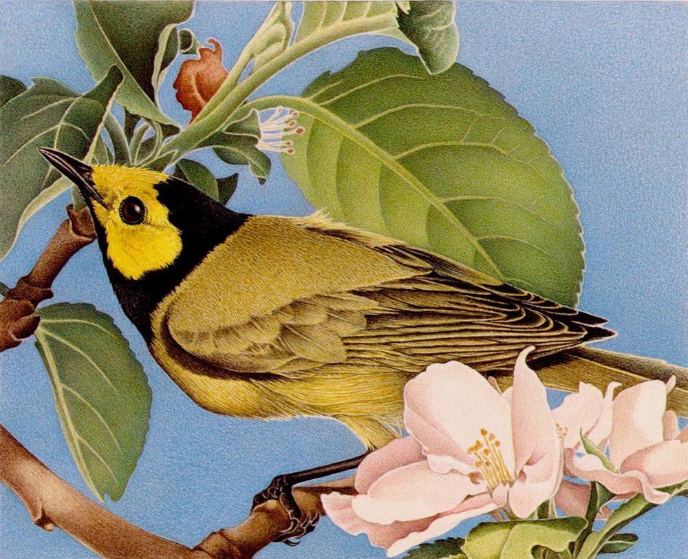 Hooded Warbler - Barbara Banthien