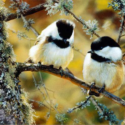 In The Black Black Capped Chickadees Carl Brenders