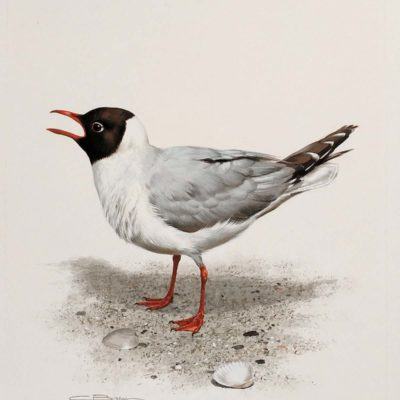 Laughing Gull - Carl Brenders