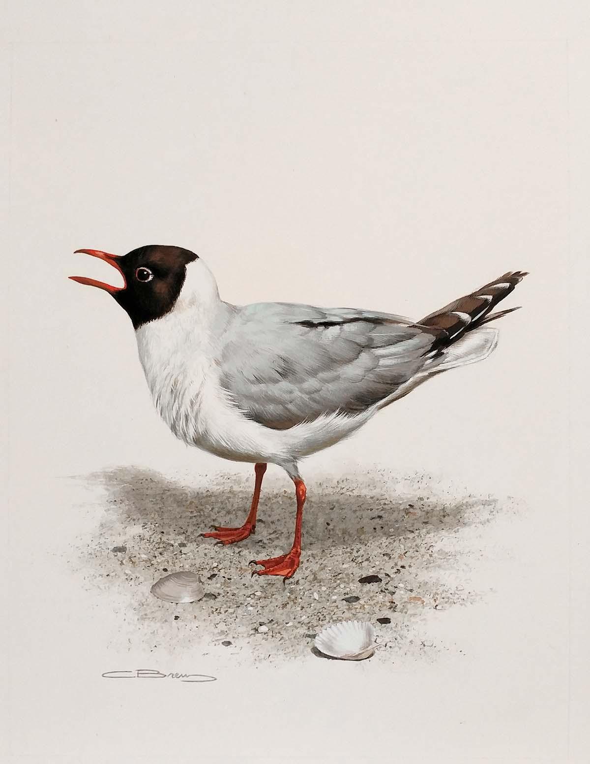Laughing Gull - Carl Brenders