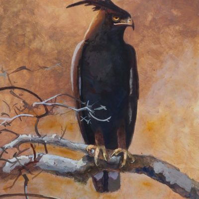 Long-Crested Eagle Study - Carel Brest van Kempen