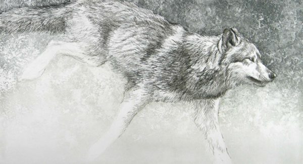 Loping Wolf - Etching - Robert Bateman