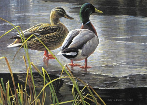 Mallard Pair - Early Winter - Robert Bateman
