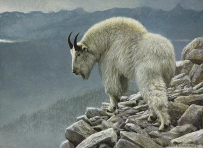 Mountain Goat At Kakwa Robert Bateman