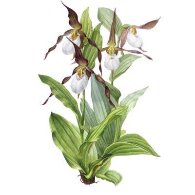 Mountain Lady's Slipper - Orchid - Charity Dakin