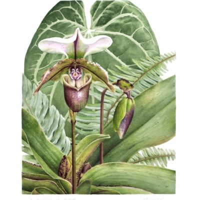 Paphiopedilum Spicerianum Orchid - Charity Dakin