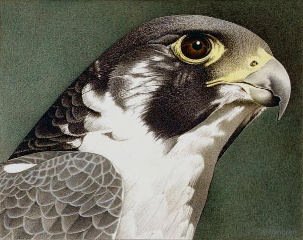Peregrine Falcon Barbara Banthien
