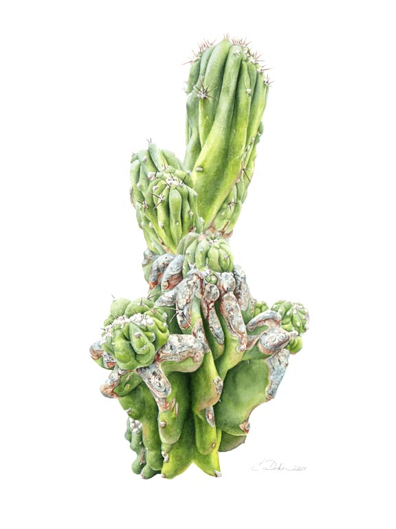 Peruvian Apple Cactus - Charity Dakin
