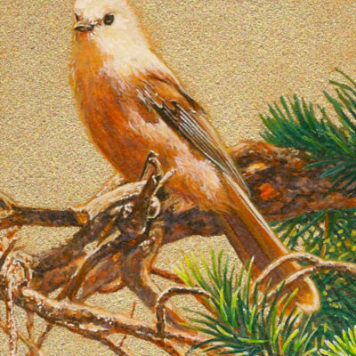Portrait Of A Gray Jay Wes Siegrist