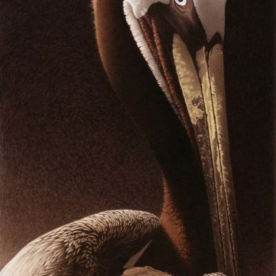 Portrait of a Pelican - Barbara Banthien