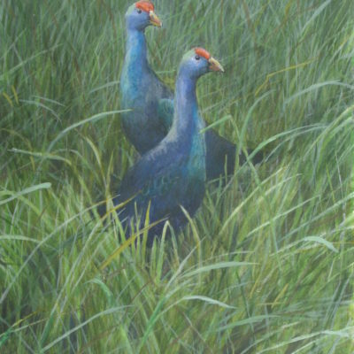 Purple Gallinules Robert Bateman