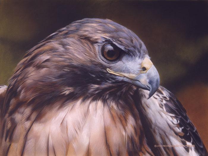 Red Alert Red Tail Hawk Carl Brenders