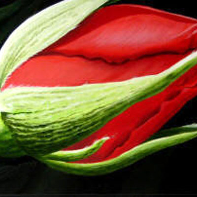 Red Rose Bud Dennis Magnusson