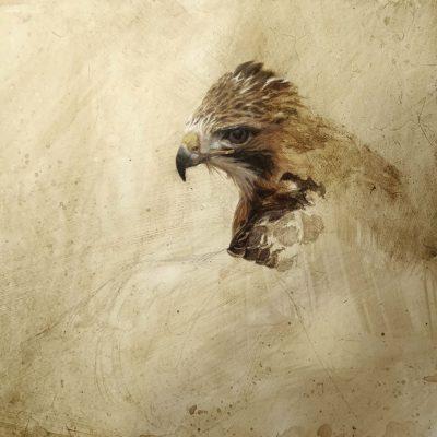 Red-tailed Hawk Portrait - John Mullane
