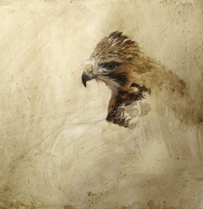 Red-tailed Hawk Portrait - John Mullane