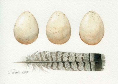 Ruffed Grouse Eggs & Feathers - Charity Dakin