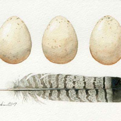 Ruffed Grouse Eggs & Feathers - Charity Dakin