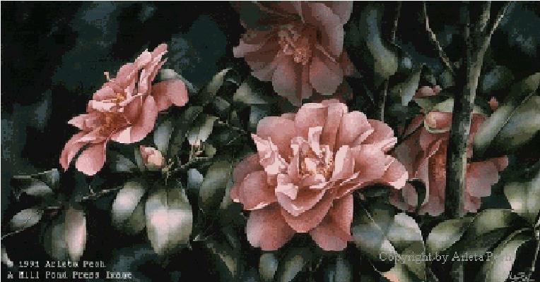 Shady Lady Camellia Arleta Pech