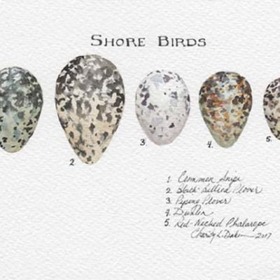 Shorebirds Egg Collection - Charity Dakin