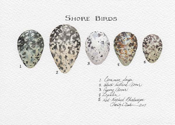 Shorebirds Egg Collection - Charity Dakin