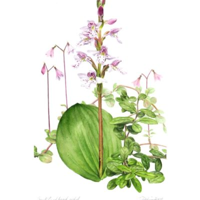 Small Round-Leaved Orchid - Charity Dakin