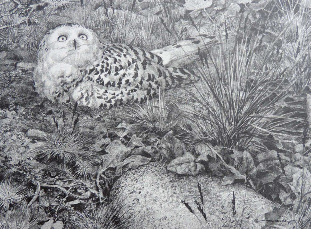 Snowy Owl - Carl Brenders