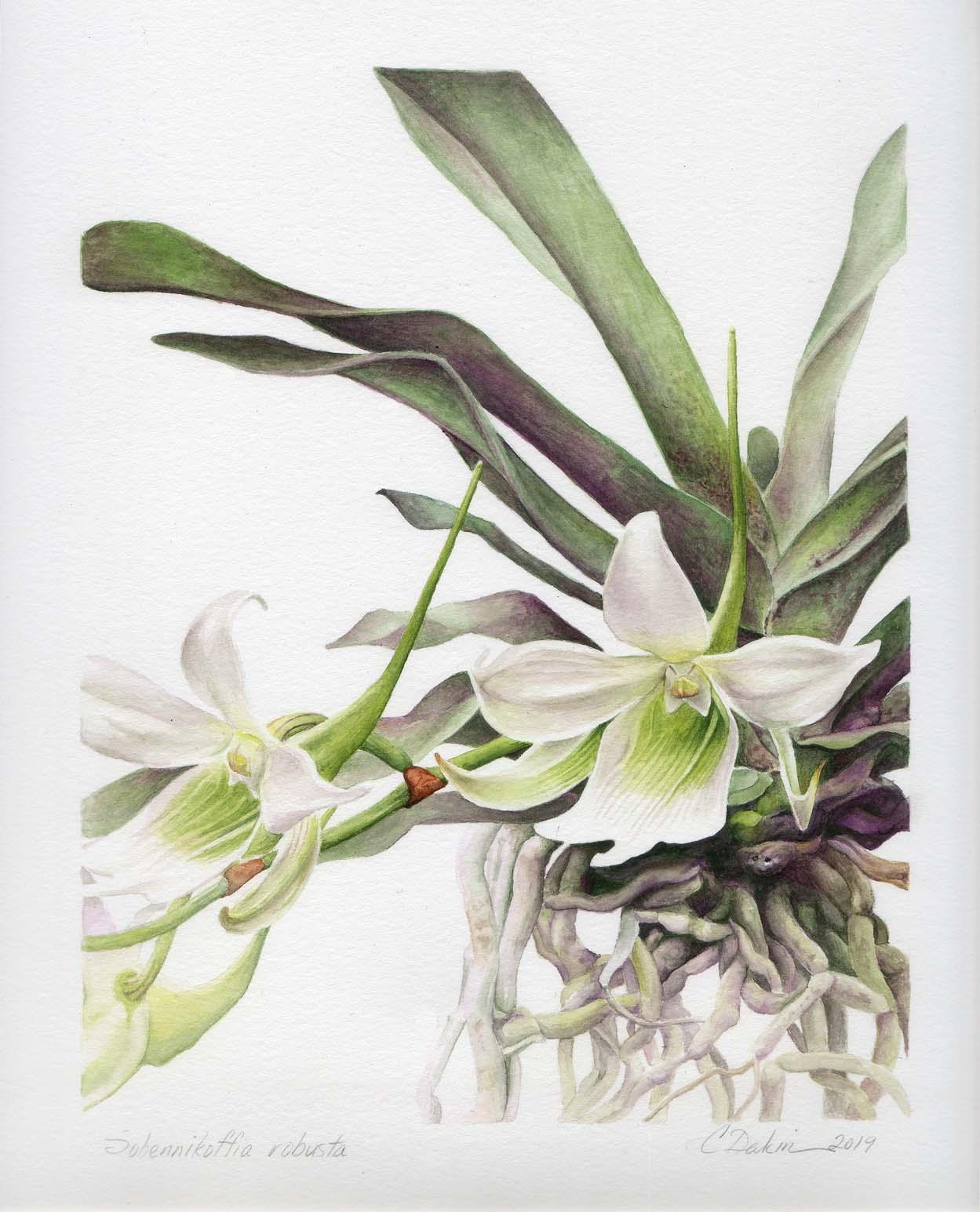 Sobennikoffia Robusta Orchid - Charity Dakin