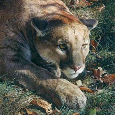 Stalking Cougar Carl Brenders
